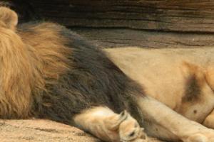 lion - fix your sleep