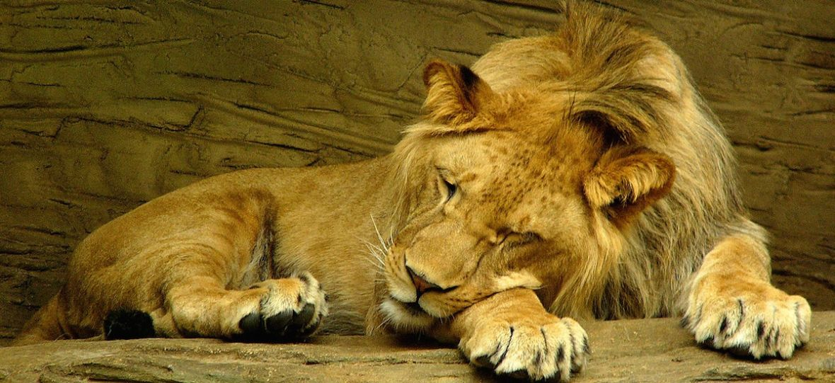 Sleep Like a Lion