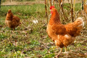 Backyard chickens: a great first step in creating an urban homestead.