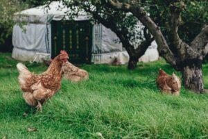 chlorine-on-chickens